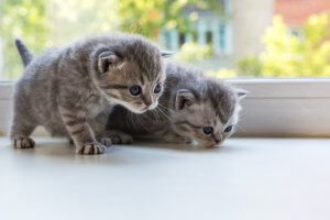 Beautiful small striped kittens on window sill. Scottish Fold breed.