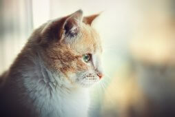 Portrait of a red cat watching in the window