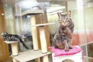 日本猫で、保護猫だった権之助