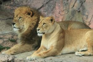 ライオン夫婦