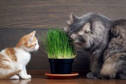 Cats eating green grass - germinated oats in the pot