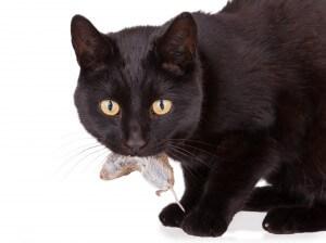 ネズミをくわえる猫