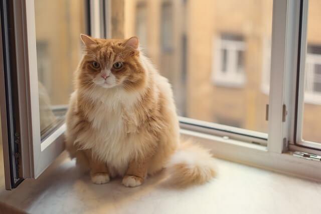 Fat ginger cat